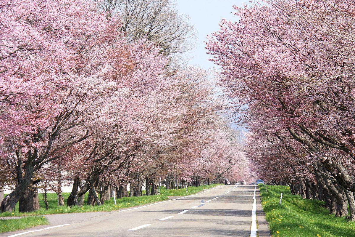 「優駿の里浦河桜まつり」のお知らせ