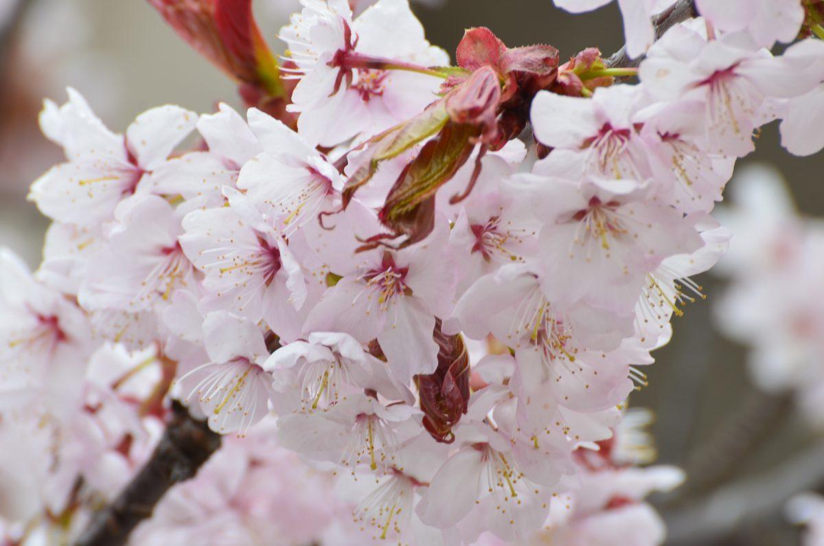 第51回 優駿の里 浦河桜まつり特設ページが公開になりました