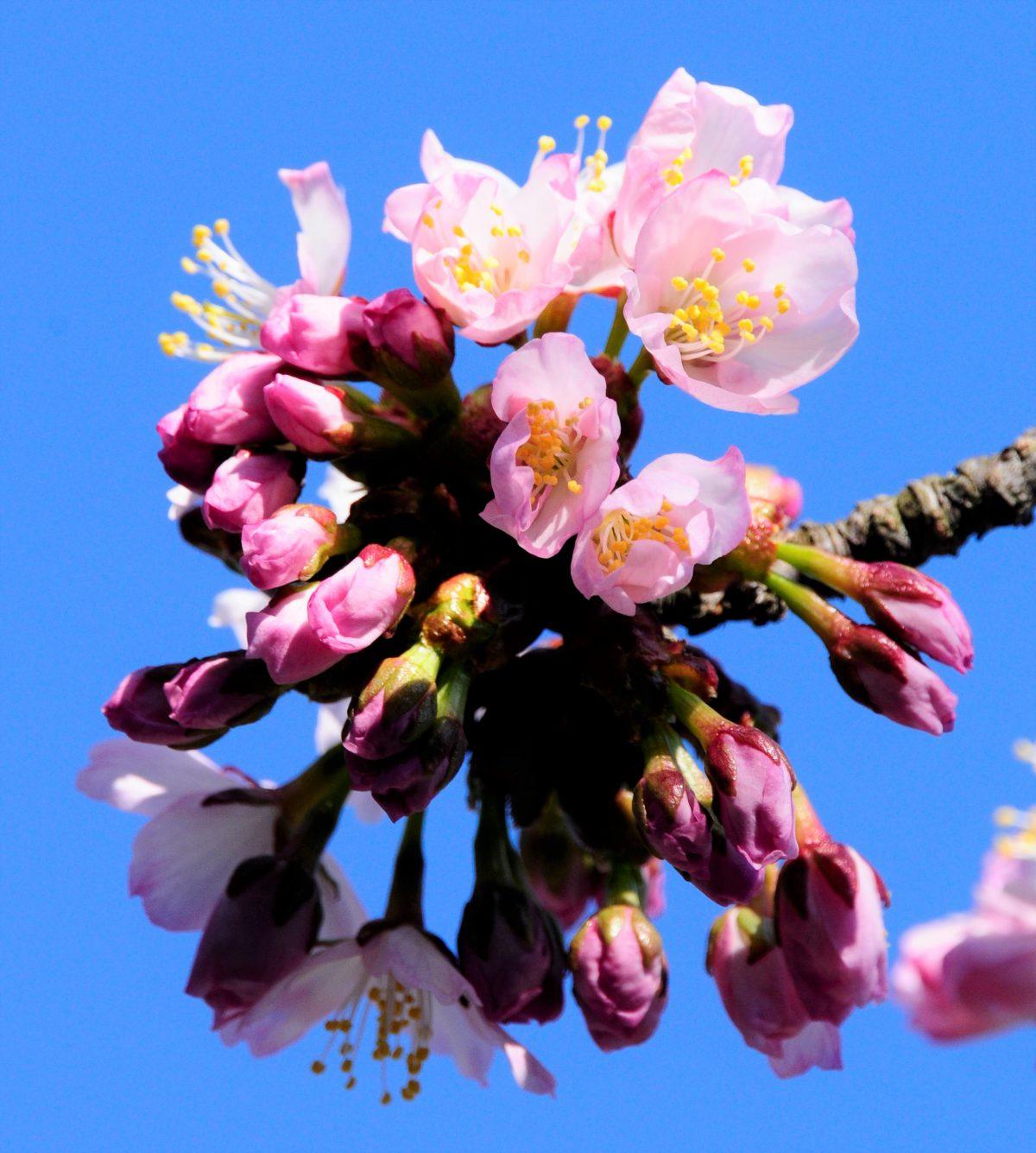 2017年の浦河の桜開花情報について