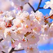 第52回 優駿の里 浦河桜まつりは5月4日(土)・5日(日)に開催します。