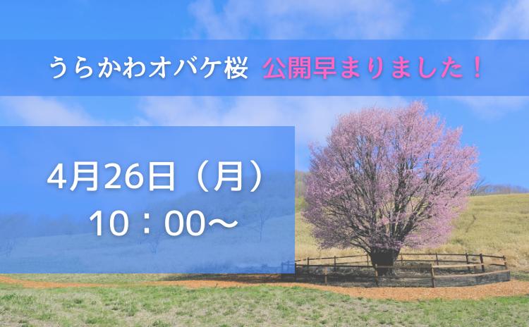 うらかわオバケ桜公開早まります!
