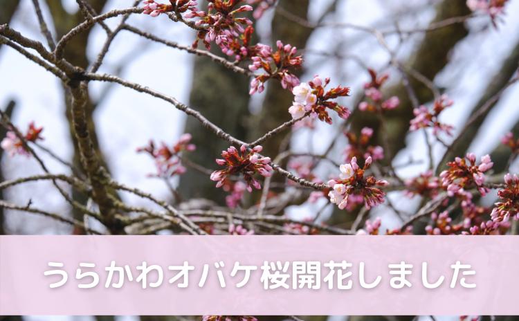 うらかわオバケ桜開花しました!