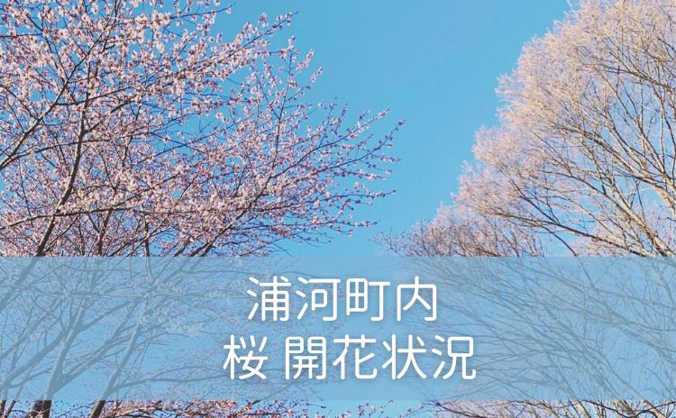 浦河町 桜開花状況